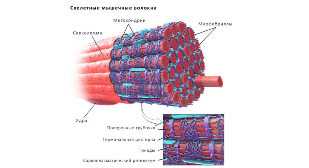 Укрепление мышц в Кременчуге